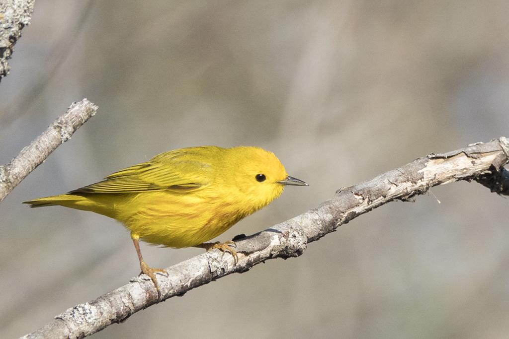 Paruline jaune Paruli13