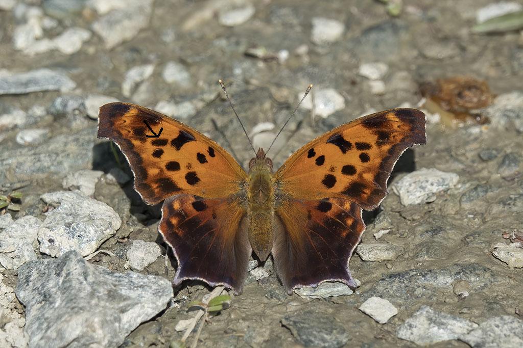 Papillon Polygo11