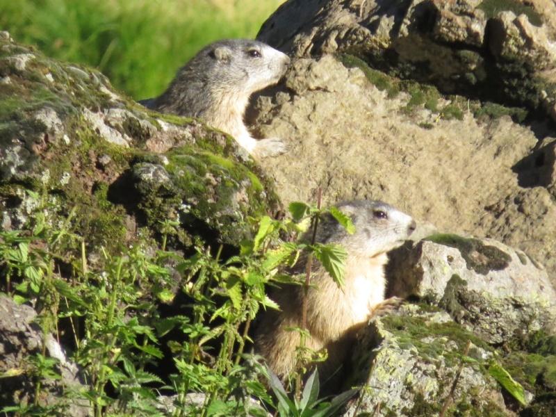 La marmotte du Cantal Img_4610