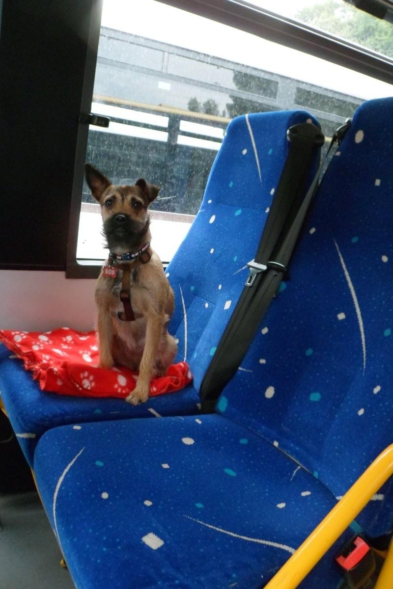 Lana, croisée border terrier, très attachante !10 mois, adoptée en mai 2014, Sam_2815