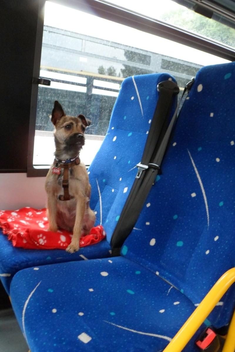 Lana, croisée border terrier, très attachante !10 mois, adoptée en mai 2014, Sam_2816