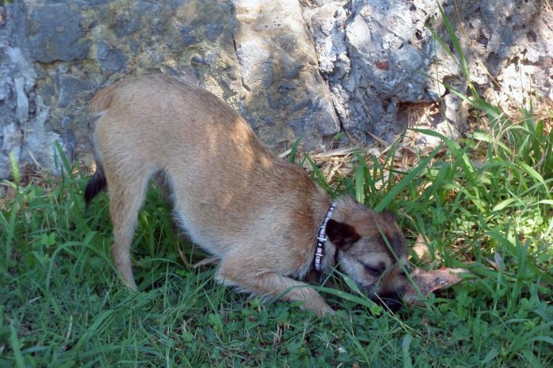 Lana, croisée border terrier, très attachante !10 mois, adoptée en mai 2014, Sam_2822
