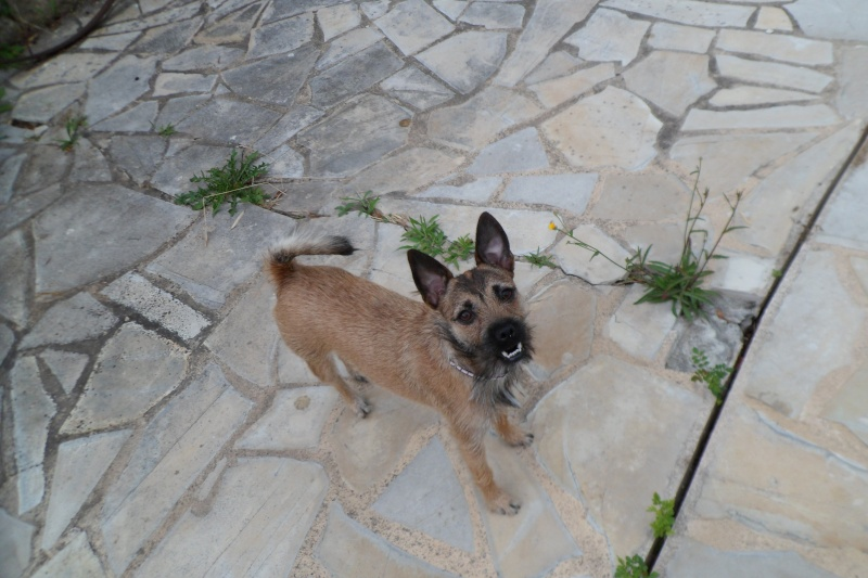Lana, croisée border terrier, très attachante !10 mois, adoptée en mai 2014, - Page 2 Sam_2914