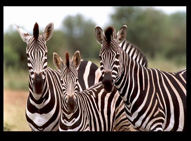 L'intelligence chez l'homme, quoiqu'il en soit pourvu, il a toujours l'impression d'en avoir assez, vu que c'est avec ça qu'il juge ! Zebra-10