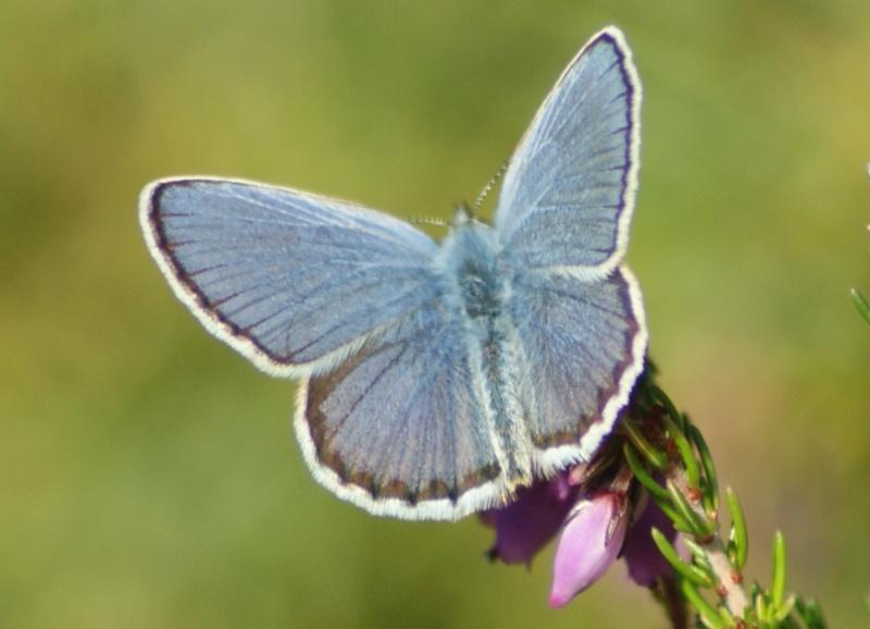 Azuré de Genêt (Plebejus idas) : de l'oeuf à l'imago Dsc01416