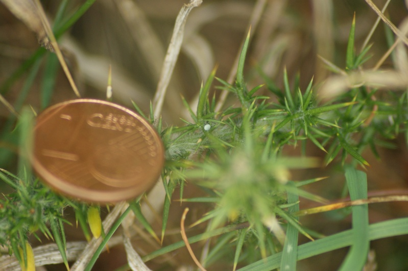 Azuré de Genêt (Plebejus idas) : de l'oeuf à l'imago Dsc02010