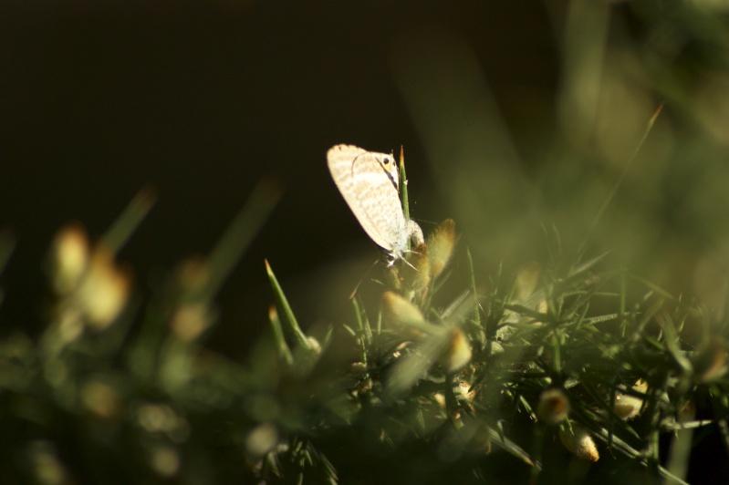 Azuré porte-queue (Lampides boeticus) Dsc02110