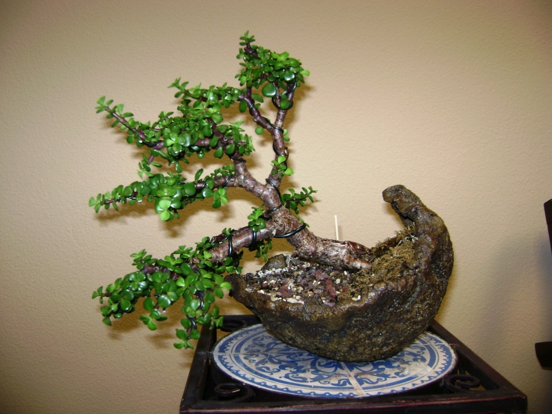 Need some help - first Bonsai - Jade tree green leaves falling off 00610