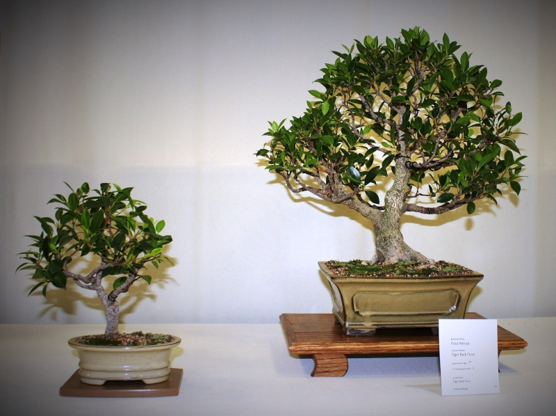 Milwaukee Bonsai Society 44th Annual Exhibit Mbs_2041