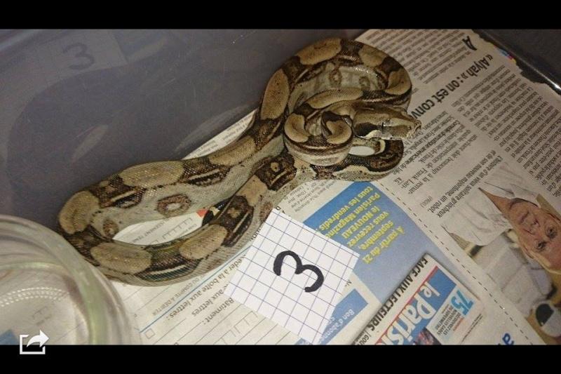 Demande d'infos et avis Boa Constrictor Longicauda - Page 2 Image44