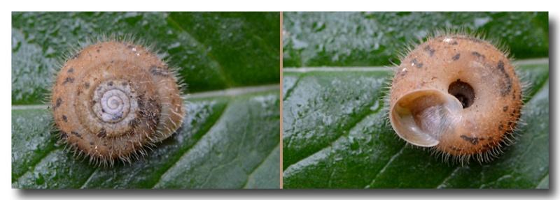 Escargot poilu ? Trichia villosa (Studer 1789) Mollus13