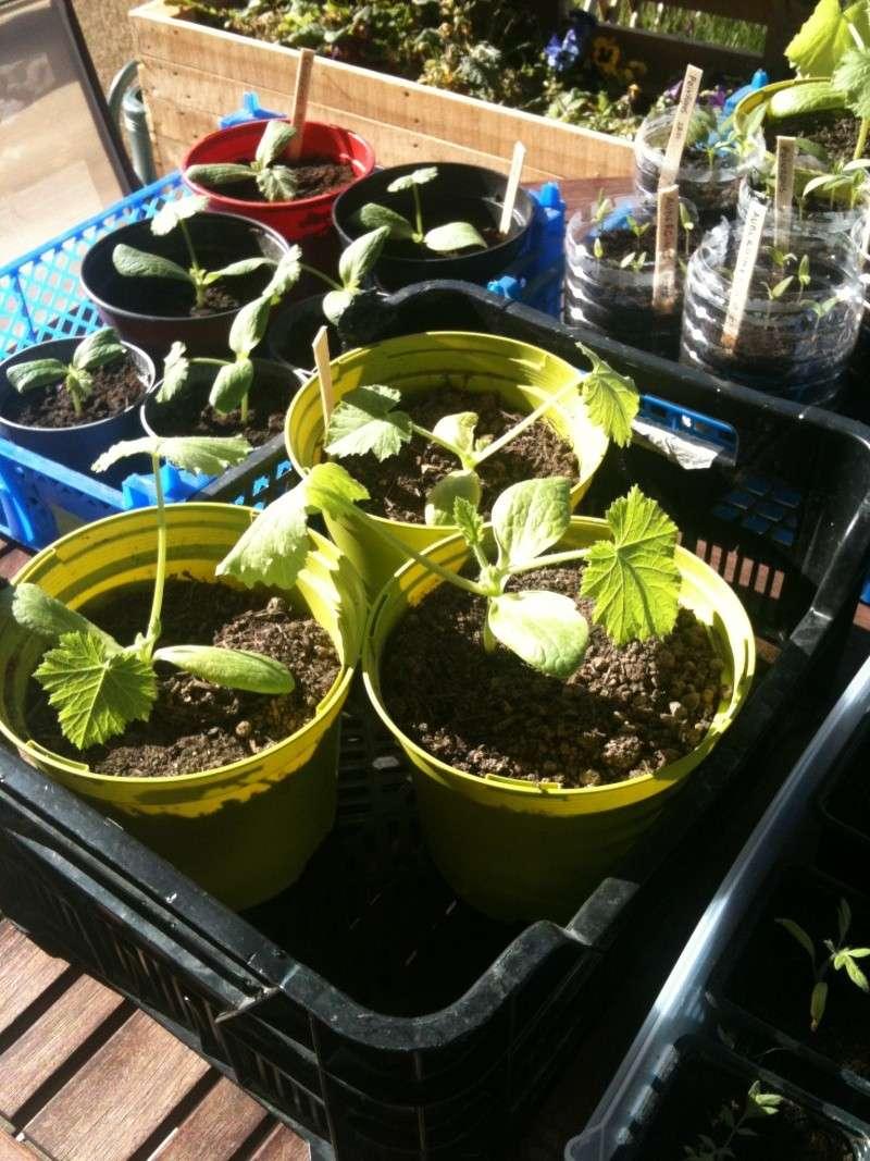 semis de tomates qui stagnent Img_1311