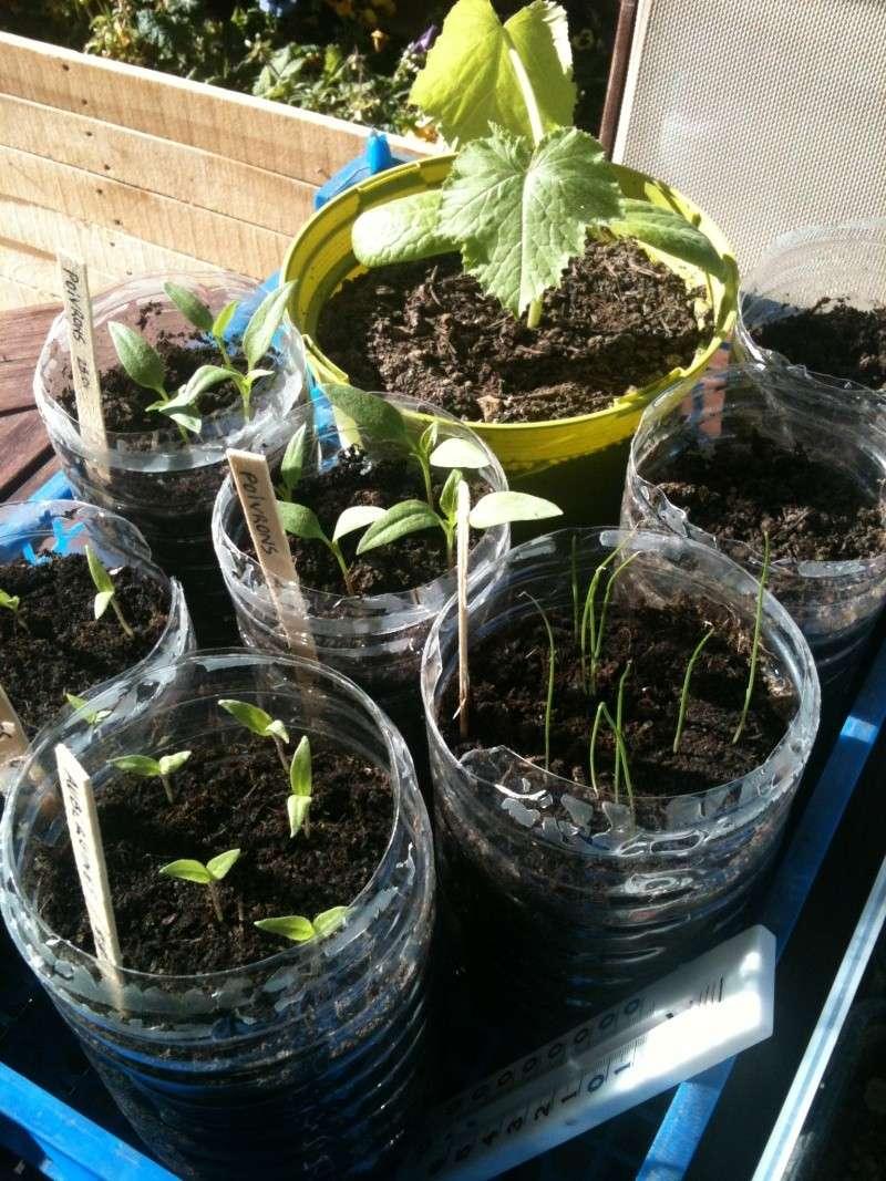 semis de tomates qui stagnent Img_1312