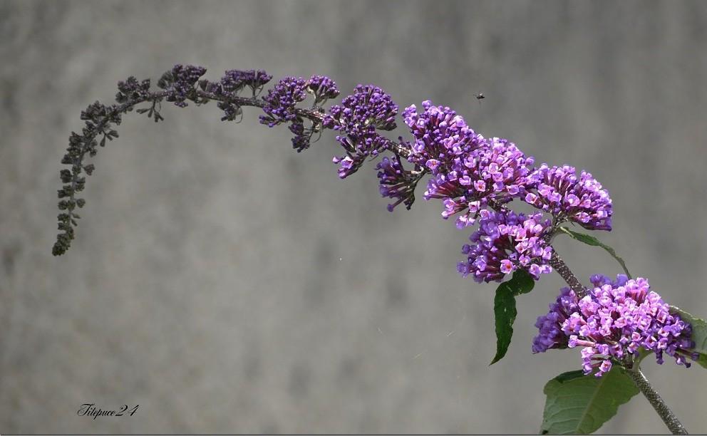 La première fleur de l'arbre à papillons + correction 13312