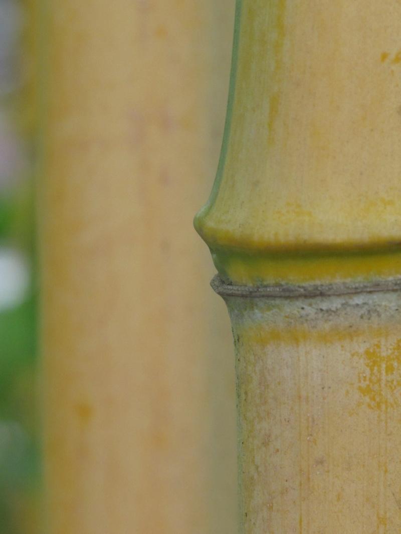 Bambus - Kultur, Aussaat, Pflege, Diskussion und Bilder von Bambusa und Fargesia Img_1028