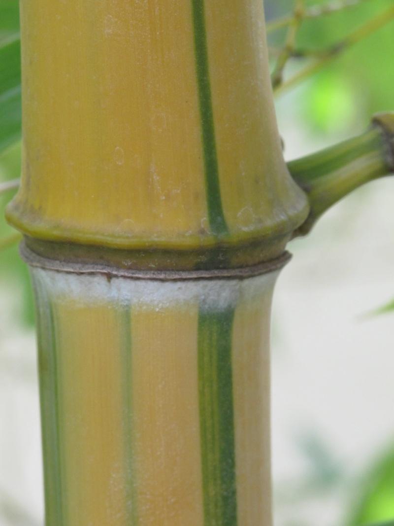 Bambus - Kultur, Aussaat, Pflege, Diskussion und Bilder von Bambusa und Fargesia Img_1029