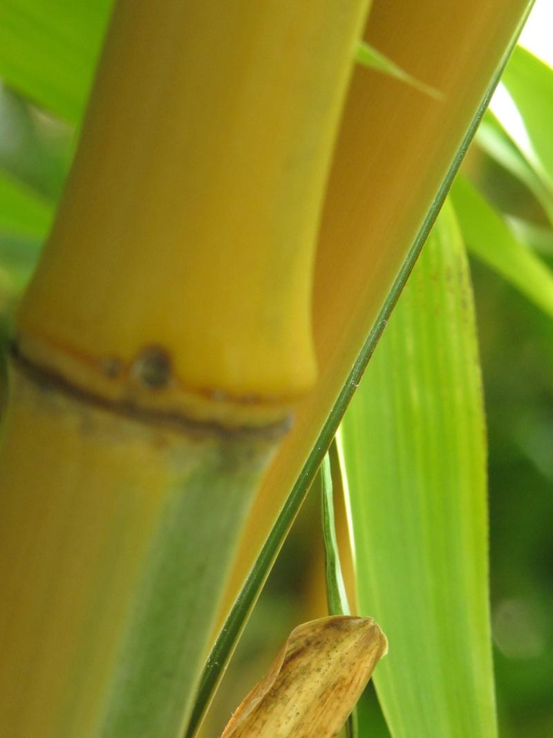 Bambus - Kultur, Aussaat, Pflege, Diskussion und Bilder von Bambusa und Fargesia Img_1030