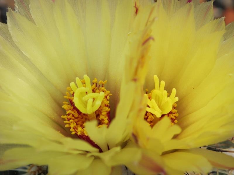 Coryphantha cornifera Img_1114