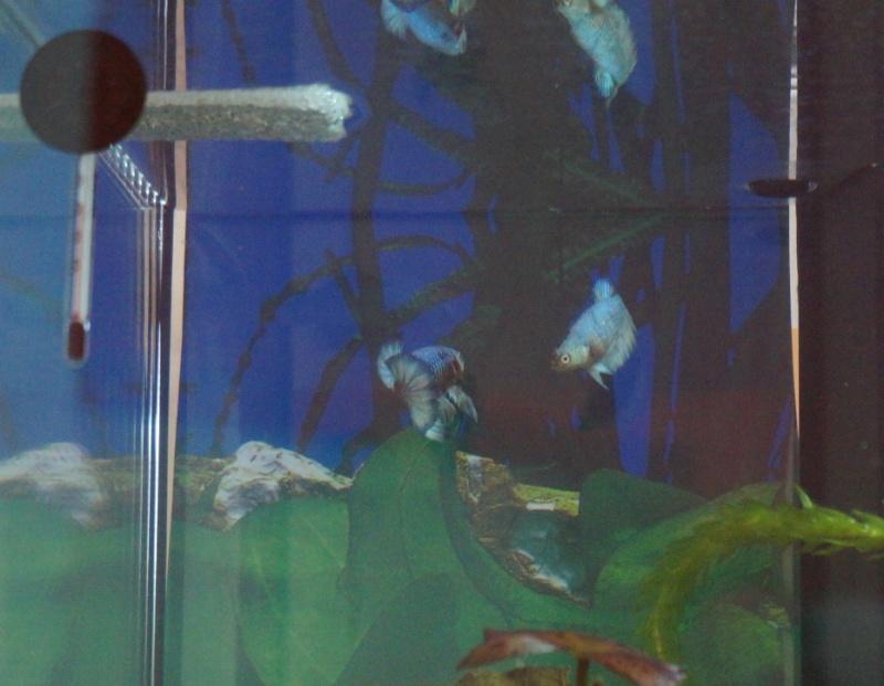Repro réussie : plakatHM metallic/dragon irisés clairs Dsc01417