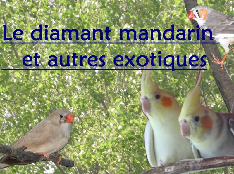 créer un forum : Le diamant mandarin et autres exotiques  Photo_12