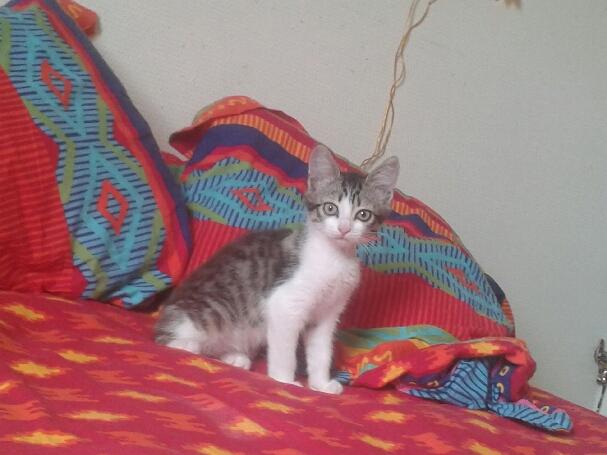 June, chatonne tigrée blanche née le 11/04/2014 20140610