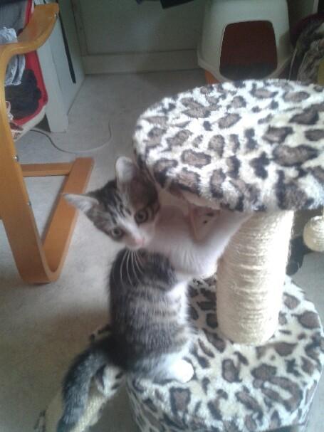 June, chatonne tigrée blanche née le 11/04/2014 20140611