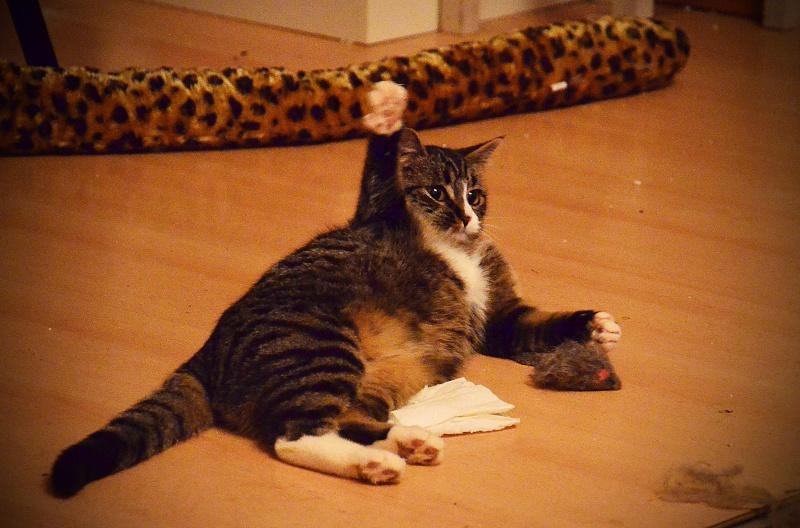 josette - Josette, chatonne tigrée type européen, née en juin 2014 Dsc_2213