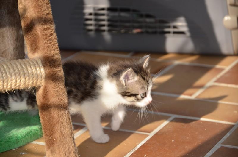 June, chatonne tigrée blanche née le 11/04/2014 Dsc_7910