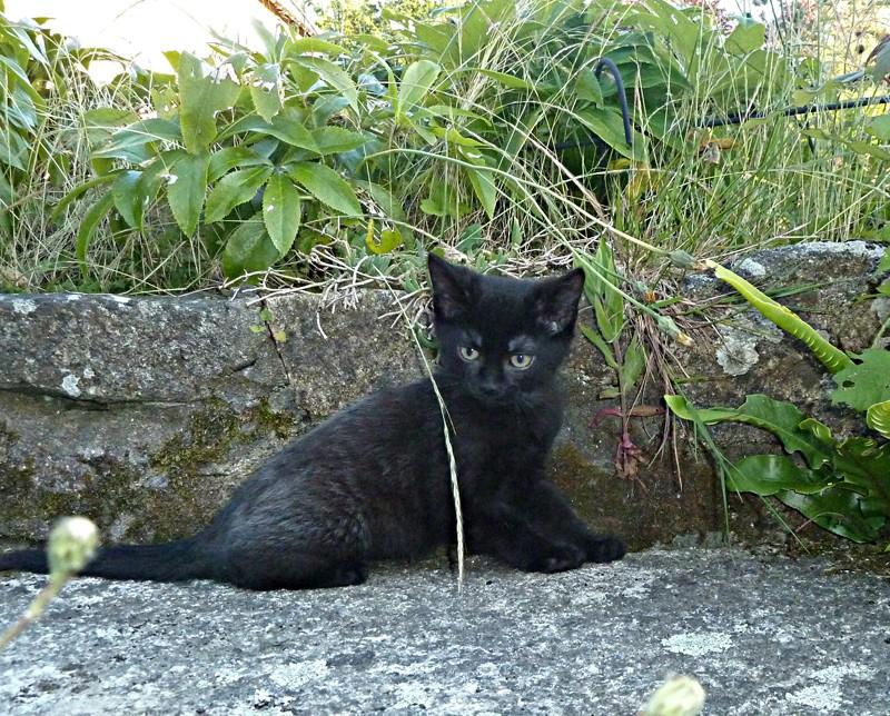 Jameson, chaton noir né le 11/04/2014 P1140510