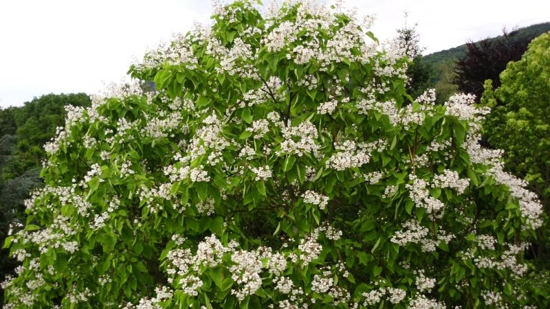 Trompetenbaumgewächse (Bignoniaceae) Dsci0114