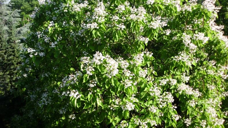 Trompetenbaumgewächse (Bignoniaceae) Dsci0115