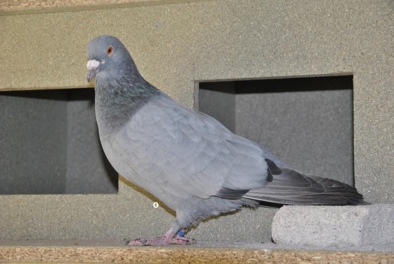 Pigeons Bleus de Gascogne Blue10
