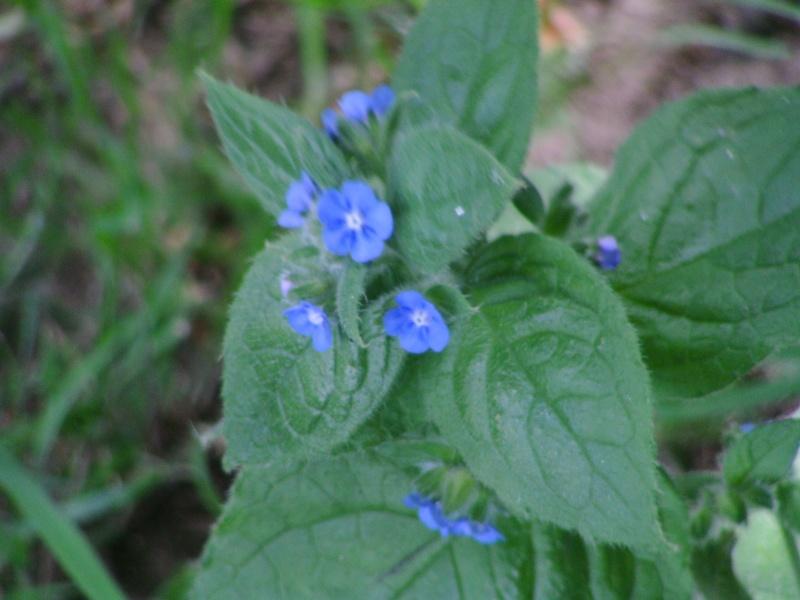 Petites fleurs bleues : pentaglottis sempervirens ? 01-ide10