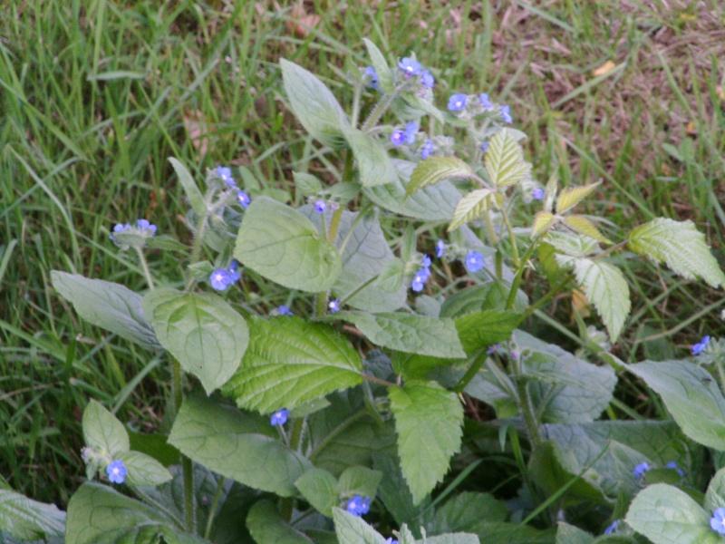 Petites fleurs bleues : pentaglottis sempervirens ? 04-ide10