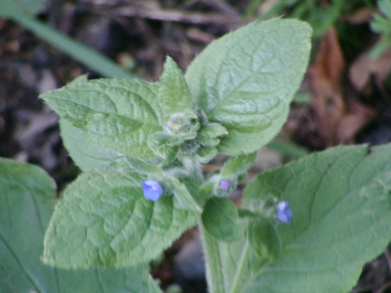 Petites fleurs bleues : pentaglottis sempervirens ? 08-ide11