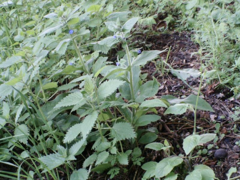Petites fleurs bleues : pentaglottis sempervirens ? 09-ide10