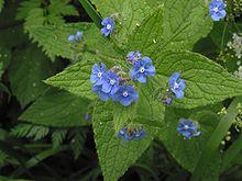 Petites fleurs bleues : pentaglottis sempervirens ? Pentag10