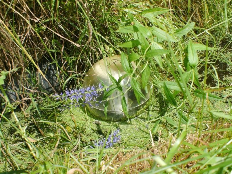 Véronique à feuilles longues / Veronica longifolia Pict0010