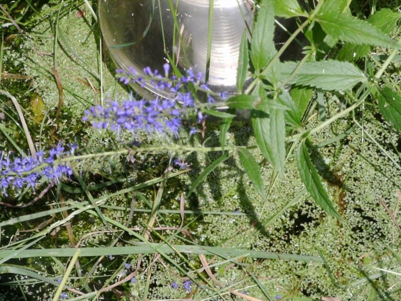 Véronique à feuilles longues / Veronica longifolia Pict0011