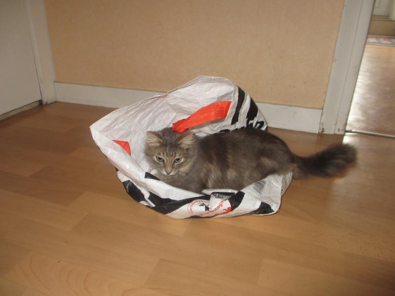 Idalgo, chat mâle type européen gris fauve né le 01/01/2013 Jeu_sa10