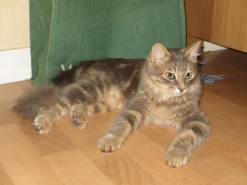 Idalgo, chat mâle type européen gris fauve né le 01/01/2013 Portra11