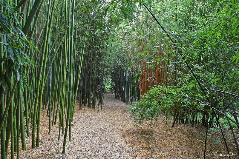 Arbres etc... tout simplement - Page 8 Bambou10