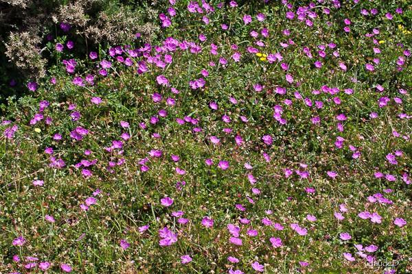 Fleurs ... tout simplement - Page 37 Gerani10