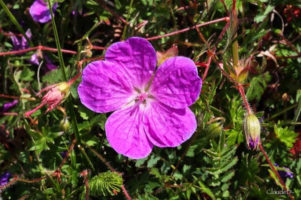 Fleurs ... tout simplement - Page 37 Gerani12