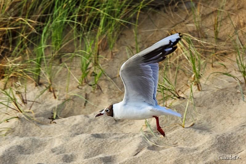 Animaux, oiseaux... etc. tout simplement ! - Page 7 Larus10