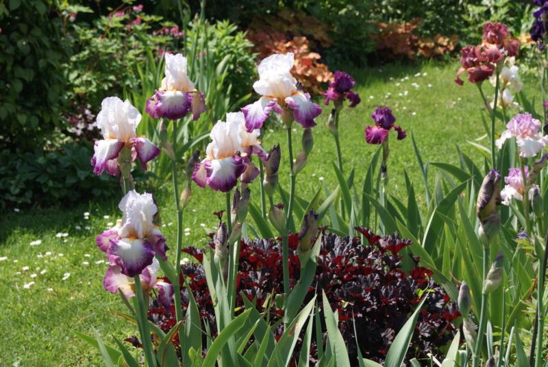 Iris en situation, dans les jardins Dsc01622