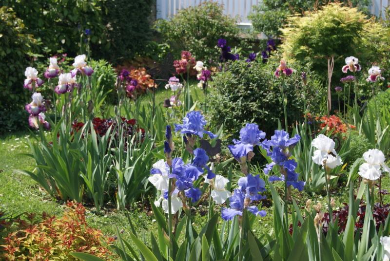 Iris en situation, dans les jardins Dsc01623