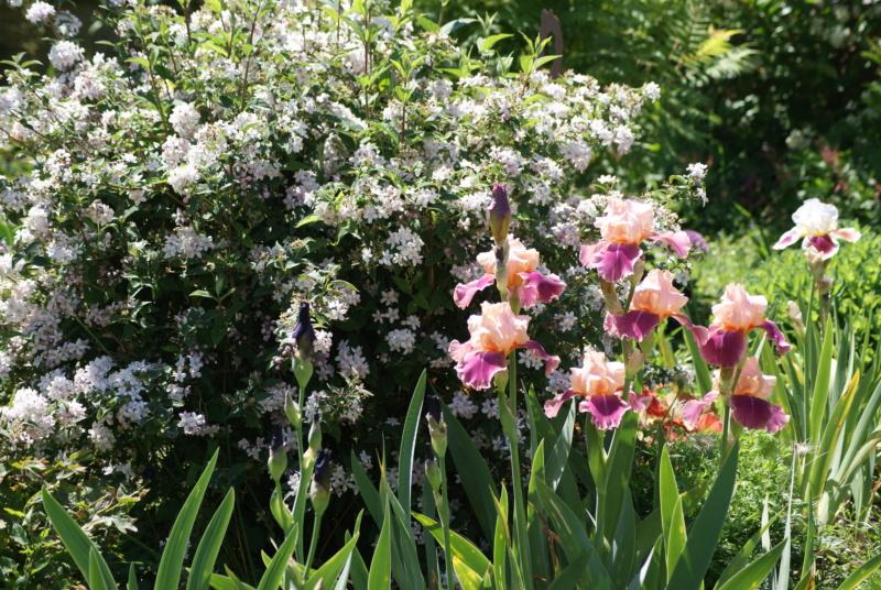 Iris en situation, dans les jardins Dsc03112