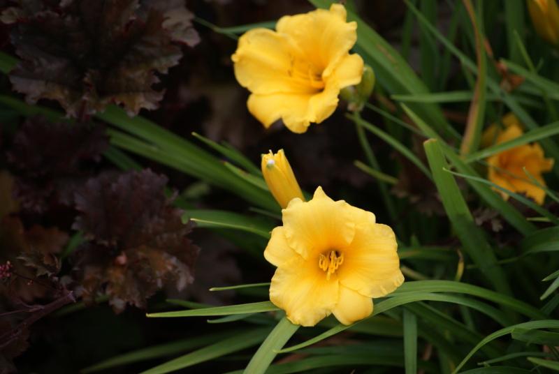 Hemerocallis - des variétés - Page 9 Dsc04113