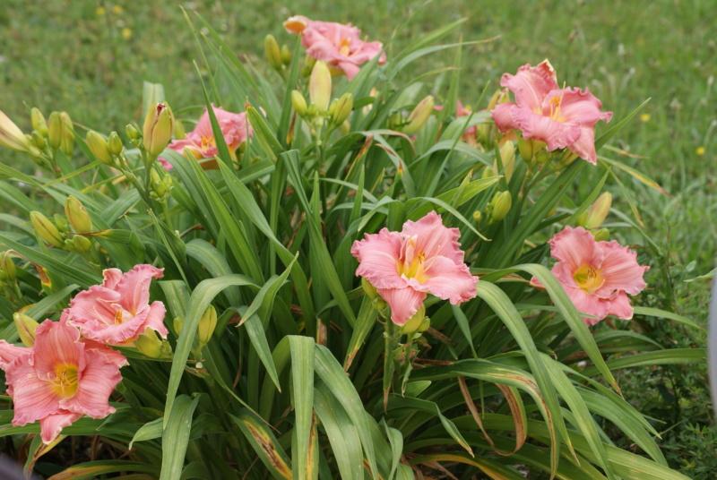 Hemerocallis - des variétés - Page 9 Dsc04117
